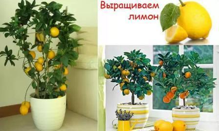 Как вырасти лимон дома