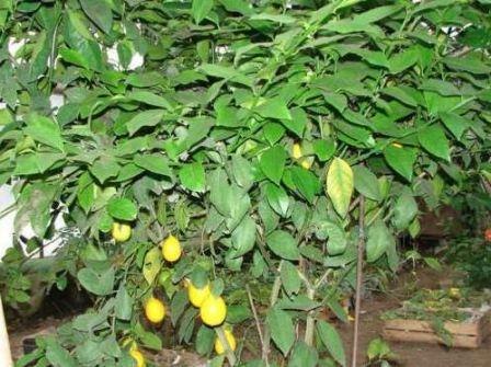 Лимоны в теплице, фото