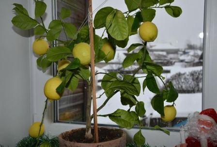 Лимон павловский, в доме фото