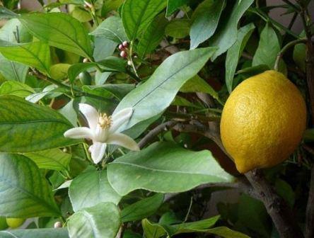 Лимон майер фото