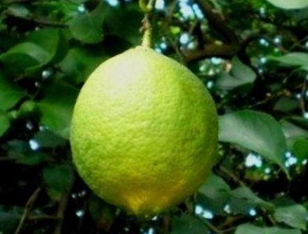 vyrashivanie_limona_v_domashnix_usloviax_7
