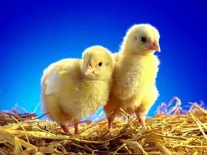 инкубация цыплят