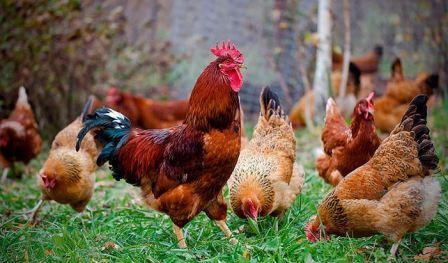Мясо-яичные куры, фото