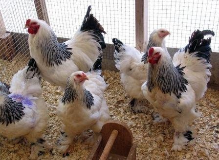 Мясные породы кур, фото - брама