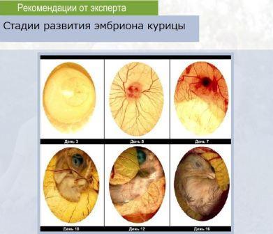 Развития эмбриона