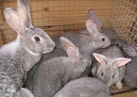 Разведение кроликов в домашних хозяйствах.Видео разведение кроликов