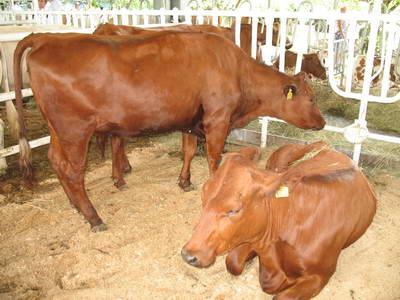 красная степная корова фото