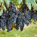 виноград, уход за виноградом