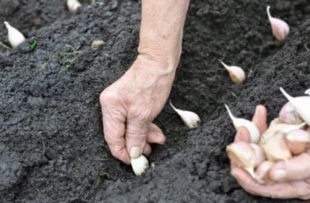 Выращиваем чеснок