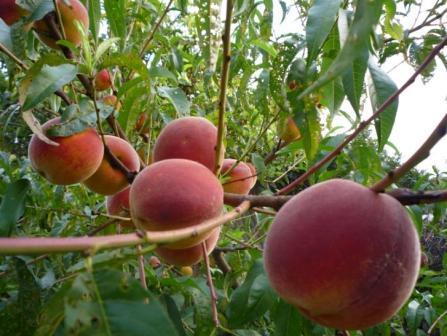 Персик. Выращиваем персики в саду