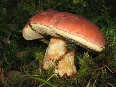 белый гриб, белые грибы