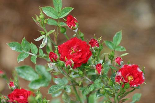 защита розы зимой