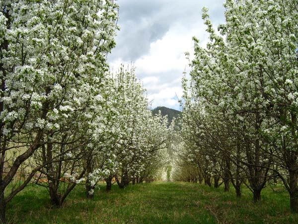 фруктовый сад, удобрение фруктового сада