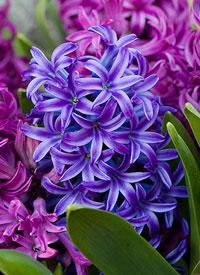 hyacinthus3
