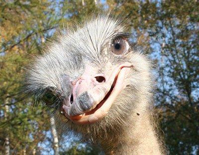 Разведение и выращивание страусов в фермерских хозяйствах
