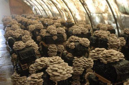 Выращивание вешенок в домашних условиях в подвале