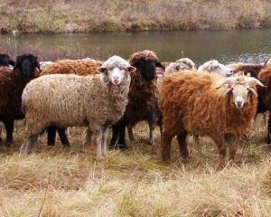 ovcy_na_vypase_0