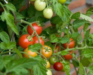 1364476377_pomidory