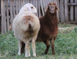 эдельбийские овцы