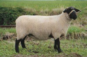 латвийская темноголовая порода овец