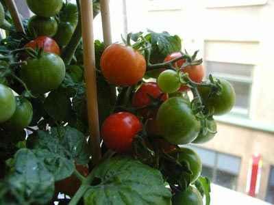 Помидоры на подоконнике: особенности выращивания.