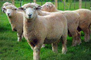 Ромни марш овцы