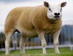 овца текслел