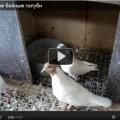boinye-golubi