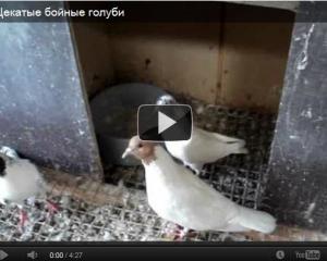Бойные голуби видео