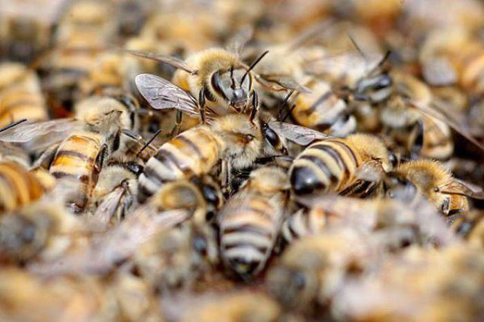 пчелы,bees