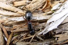 мурвьи в доме
