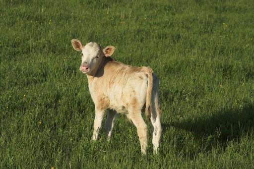 теленок, выращивание теленка