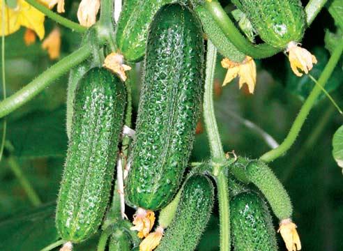 самые урожайные сорта огурцов