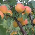 обрезка абрикос