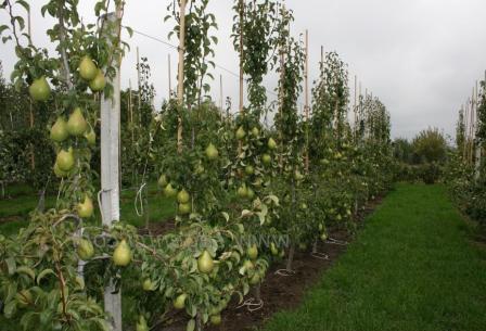 Как весной сажать грушу