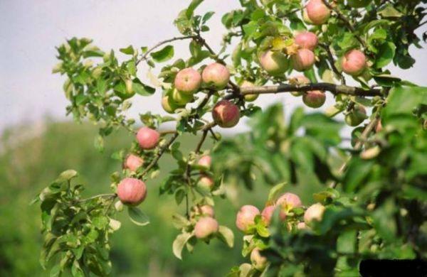 Защита фруктового сада