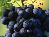 гниль винограда фото