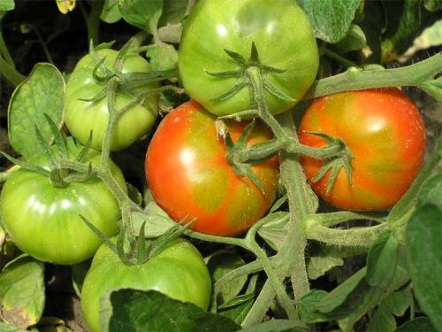 Дозаривание помидоров. Способы дозаривания томата