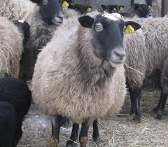 Чем кормить овец романовской породы в период стойловог
