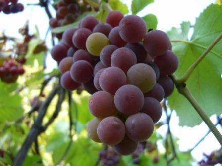Виноград Лидия: что делать зимой?
