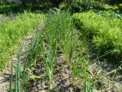 озимый лук выращивание