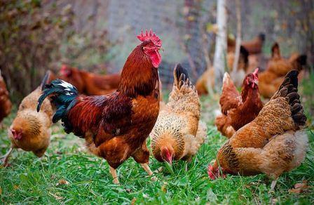 Юбилейная порода кур