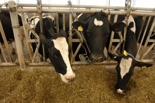 Откорм скота, чем и как кормить