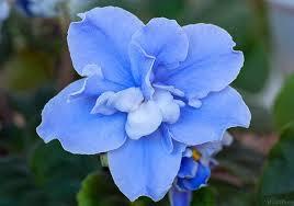 фиалка голубая