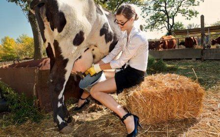 Сколько раз доить корову