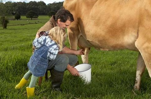 Как  доить корову?