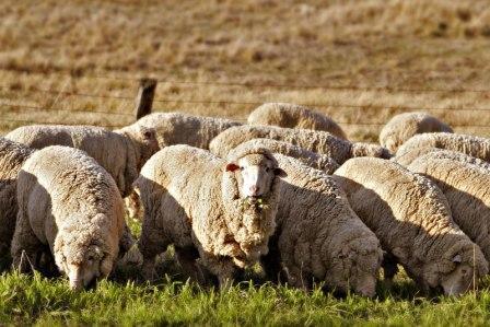 Зарабатываем на овцах! Бизнес план