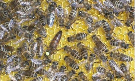 Порода пчел каринка, все о ней, отзывы и видео