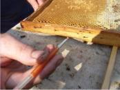 вывод пчелиных маток видео