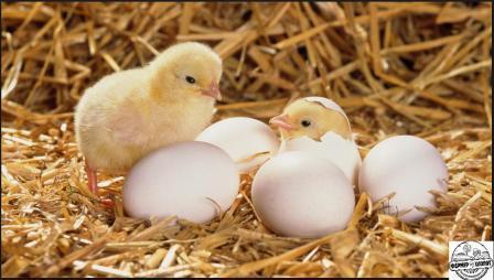 выращивание цыплят несушек